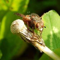 Большой мух! :: Светлана Гуагова