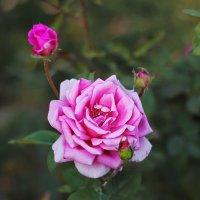 Роза :: TATYANA PODYMA
