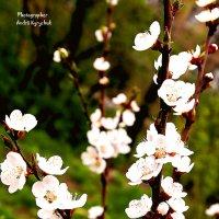Весеннее цветение :: Andrii Kyrychuk