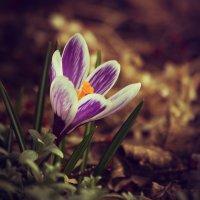 Первоцветы, крокус, вид 1 :: Юрий