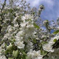 Цветущие ветви :: Светлана