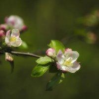 весна и яблоня... :: Лариса Н