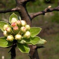 Соцветие дикой яблони :: Елена Даньшина