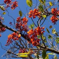 Коралловое дерево-эритрина :: Natalia Harries
