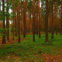 Сосновый лес :: сергей