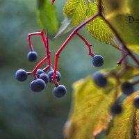 Виноград :: Natalia Danilova