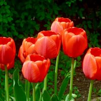 Тюльпаны. :: Чария Зоя