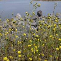 Цветы и камни. :: Сергей Махонин