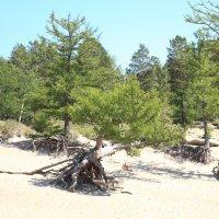Ходульные деревья на Байкале. :: BORIS LAMBERT