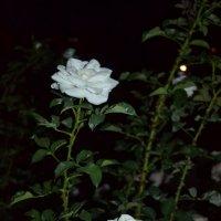 Розы ночью :: Ирина Дыкина