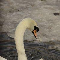 зимние лебеди :: Svetlana Konovalova