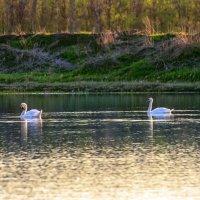 Лебеди :: Инна Голубицкая
