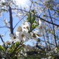 Алыча цветёт... :: BoxerMak Mak
