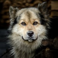 Пёс :: Сергей Комаров