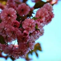 Цветение сакуры :: Елена
