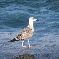 Crimean seagul :: Майя Стасюкевич