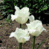 Бахромчатые тюльпаны :: Нина Бутко