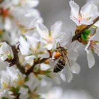 Весенний начат сбор нектара... :: Анатолий Клепешнёв
