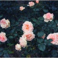 розы :: Slava Hamamoto