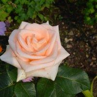 "Роза ""С любовью от мамы"" :: Мария Калинина"