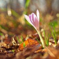 Первые цветы весны :: Мария Парамонова