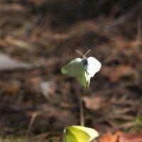 а бабочки крылышками... :: Лада Котлова