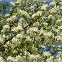 Вот так буйно цветет груша :: Валентина Данилова
