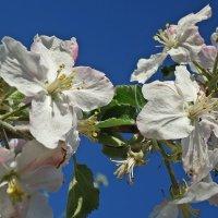 Дивный яблоневый цвет! :: Galina Dzubina