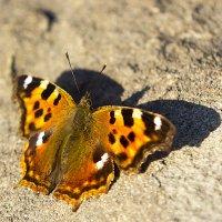 Апрельская бабочка :: Анатолий Иргл