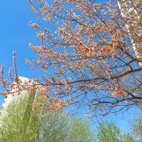 Абрикос в цвету :: Светлана Лысенко