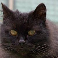 Черный кот на счастье) :: Елена Фролкова