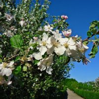 Яблони в цвету - Весны творенье. :: Galina Dzubina