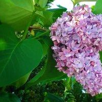 Повинуясь велению мая И природы почувствовав власть, Распустилась сирень голубая... :: Galina Dzubina