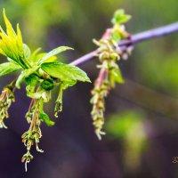 Spring leaves :: Sergey Sergaj