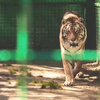 Тигр :: Алексей Гончаров