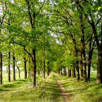 дубовая аллея весной :: георгий петькун