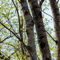Лесной житель :: Юрий Стародубцев