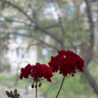 Герань у мамы на окне. :: Сергей Касимов