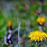 Пчелка. :: ОЛЕГ ПАНКОВ