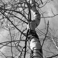Старое Дерево. :: Кристина Девяткина
