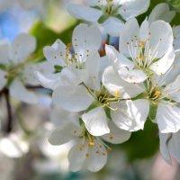Сады цветут. :: Mariya Trofimova