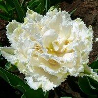 Махровый тюльпан. :: Чария Зоя