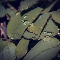 капли дождя на листьях роз :: Вадим Куликов