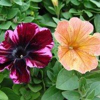"""Sweetunia Johnny Flame & Petunia x hybrida Cascadias """" Indian Summer """" :: laana laadas"""