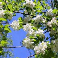 Белые снега цветов весенних. :: Валентина ツ ღ✿ღ