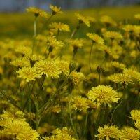 Полевые цветы :: Сергей Махонин