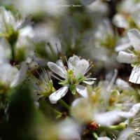 весна :: Виктория Гринченко