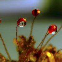 Росинки на цветущем мохе :: Татьяна Кадочникова