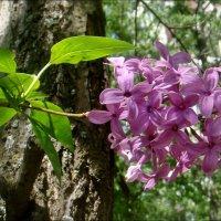 Сиреневая прелесть весны... :: Нина Корешкова