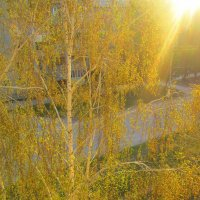Золотые оттенки берёзы. :: Мила Бовкун